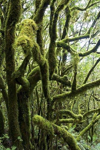 La Gomera - las w parku narodowym Garajonay